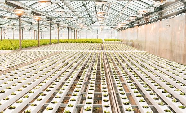 Cannuba cannabis greenhouse