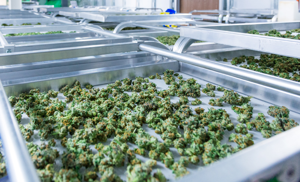 Cannabis processing
